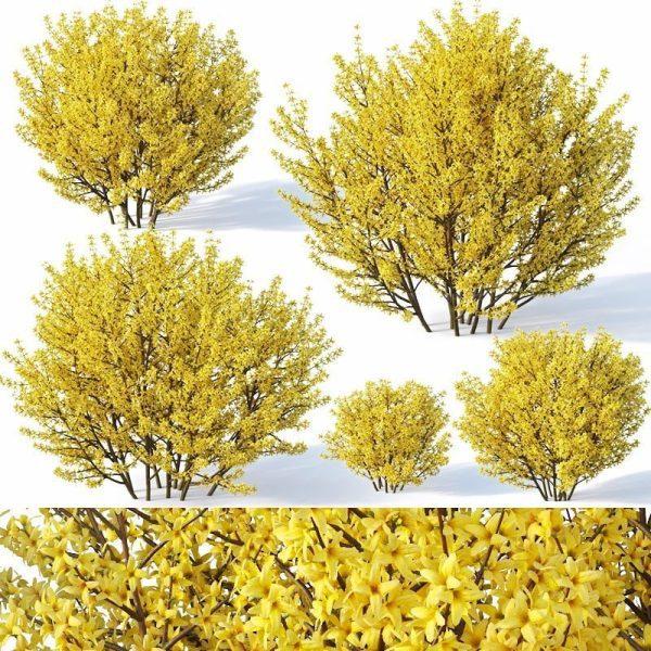 Forsythia Plant 3d Model 3d V Ray – Corona 022