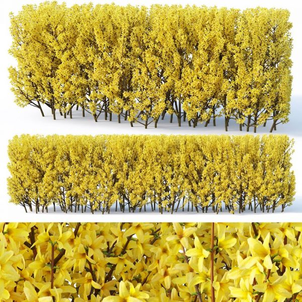 Forsythia hedge 110cm  3d Model 3d V Ray – Corona 023