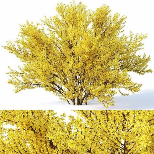 Forsythia Plant 3d Model  V Ray – Corona 024