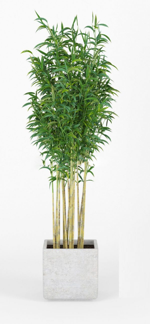 Bambus Muriel plant 3D Model V Ray & Corona –  FBX – OBJ 027